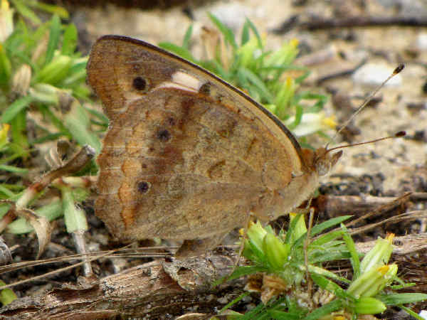 picture of a Satyr butterfly