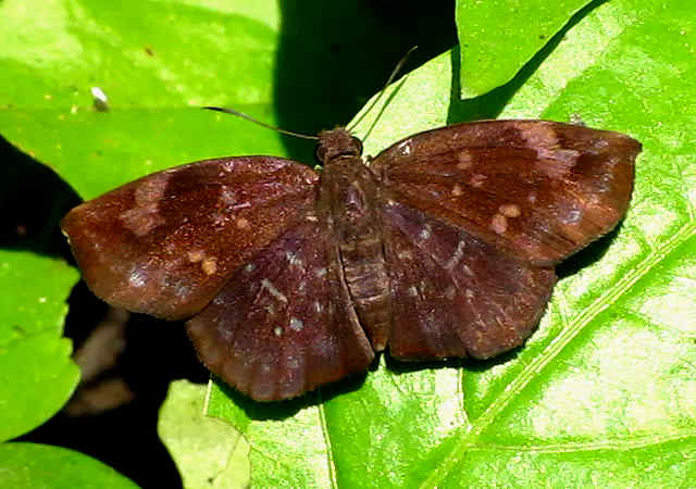 picture of a sickle-winged skipper