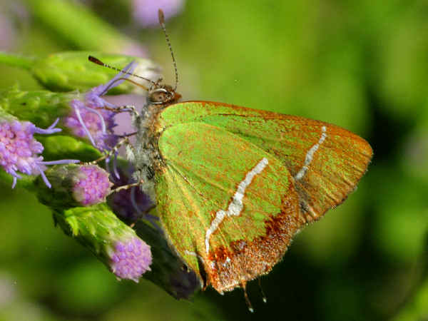 picture of a Silver-banded Hairstreak