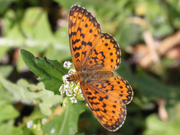 picture of a Silver Bordered Fritillary