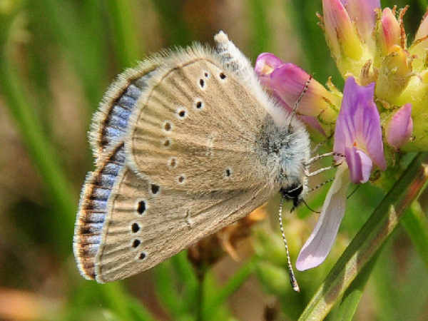 picture of a Silvery Blue butterfly, part of the Vermont butterflies series