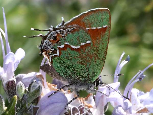 picture of a Siva Juniper Hairstreak green