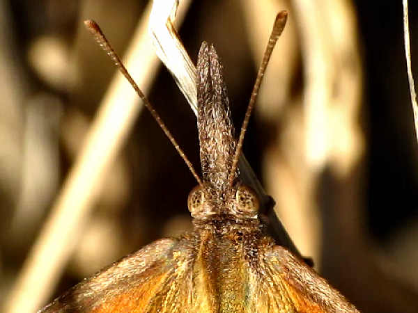 picture of an American Snout, part of the Missouri butterflies series