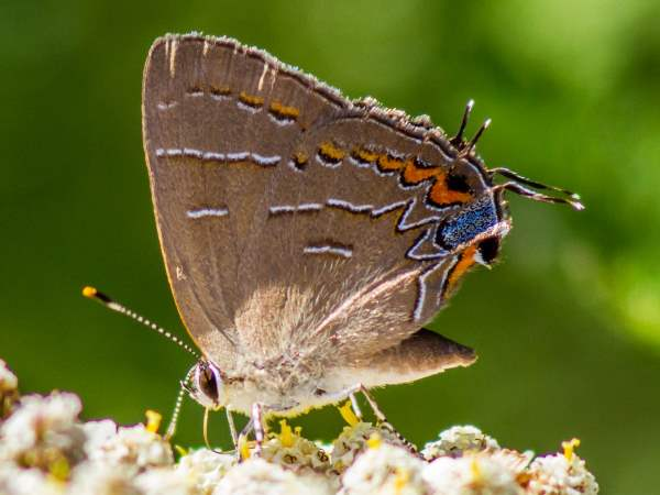 picture of a Soapberry Hairstreak butterfly
