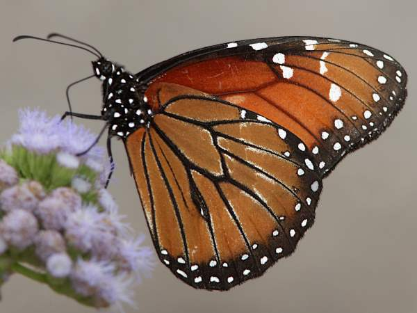 picture of a Soldier butterfly