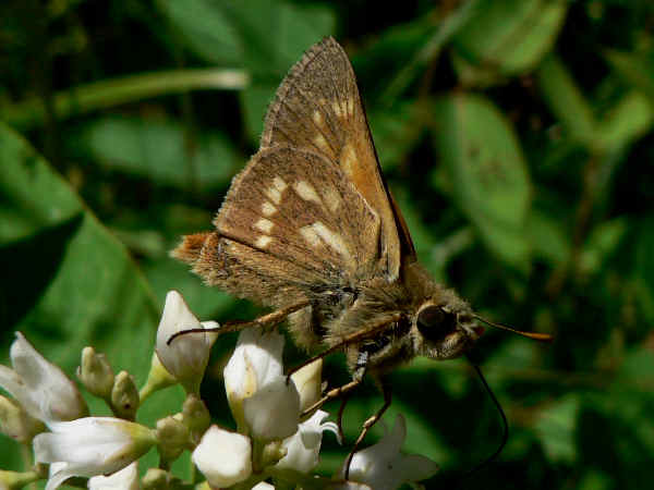 picture of a side view of a sonoran skipper
