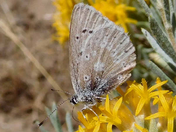picture of a Sooty Hairstreak butterfly