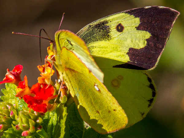 picture of a Southern Dogface Butterfly