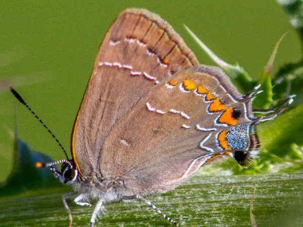 picture of a southern oak hairstreak butterfly