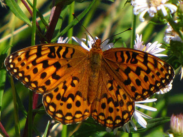 picture of a Speyeria Fritillary