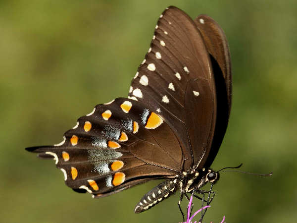 picture of a side view of a Spicebush Swallowtail butterfly
