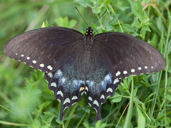 picture of a Spicebush Swallowtail butterfly