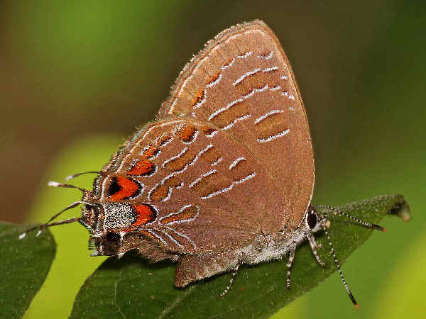 picture of a 'striped Hairstreak