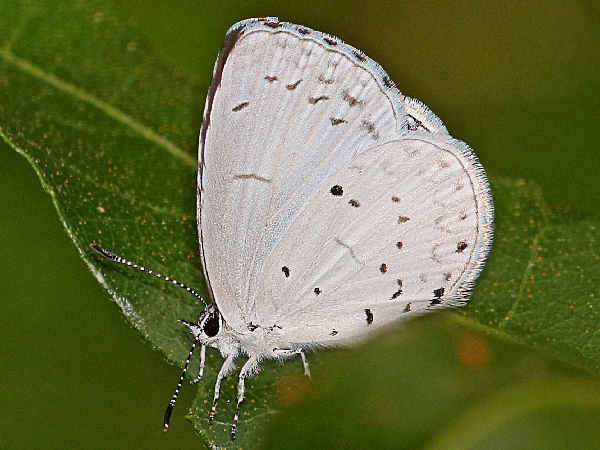 picture of a Summer Azure Butterfly
