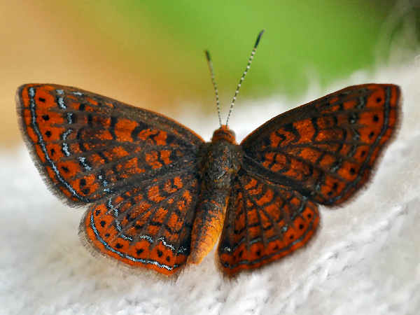 picture of a swamp metalmark butterfly