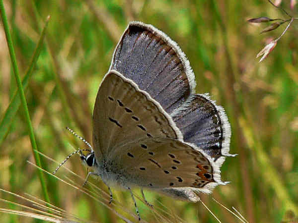 picture of a Tailed-Blue butterfly