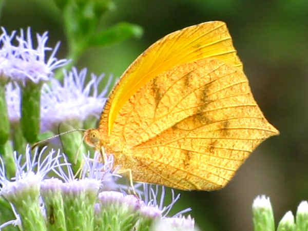 picture of a tailed Orange butterfly, part of the New Mexico butterflies collection