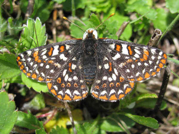 picture of a Taylor's Checkerspot butterfly, part of the Oregon butterflies collection