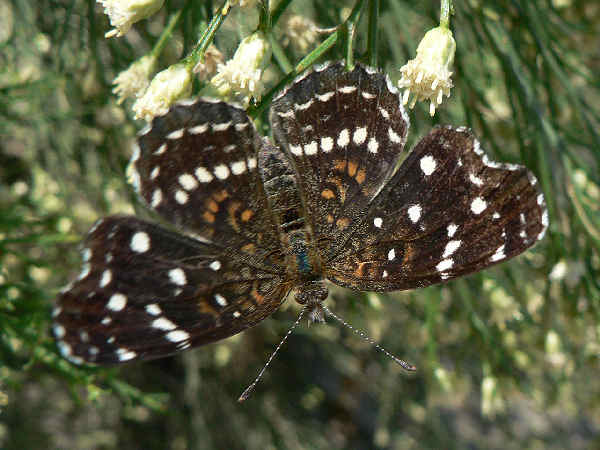 picture of a Texan crescent butterfly, part of the Crescent butterflies section