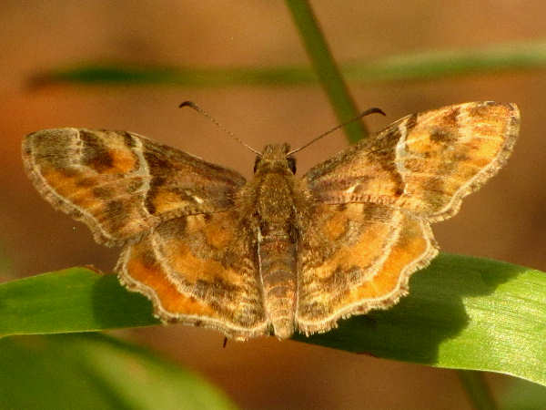 picture of a Texas Powdered Skipper, part of the spread-wing skippers collection