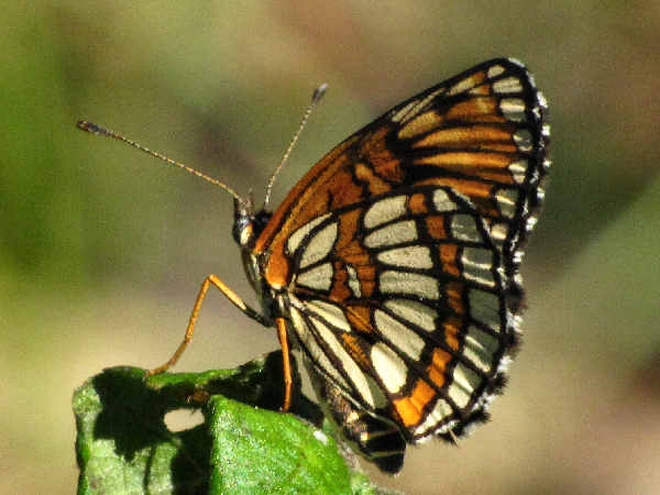 picture of a Theona Checkerspot butterfly