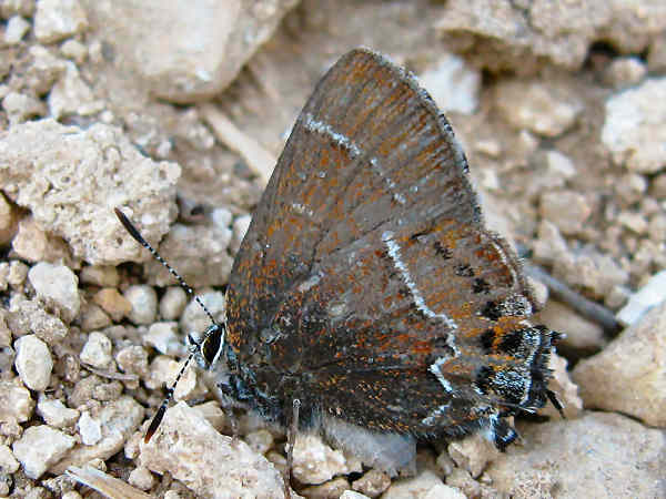 picture of a Thicket Hairstreak Butterfly.