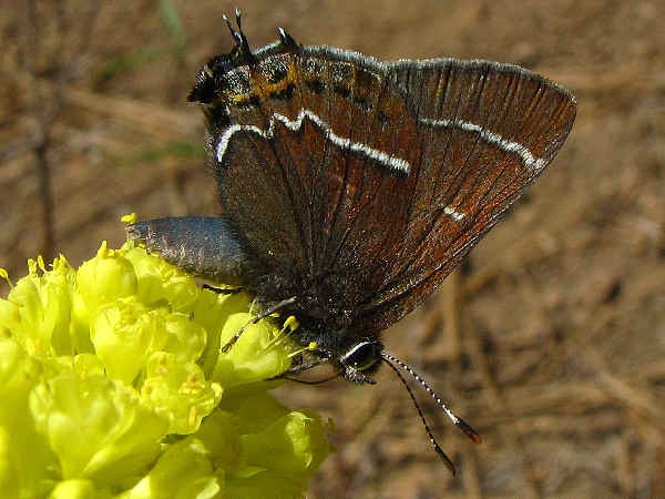 picture of a Thicket Hairstreak, part of the butterfly identification series