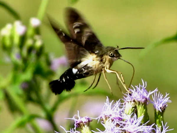 picture of a hummingbird moth also called a titan moth