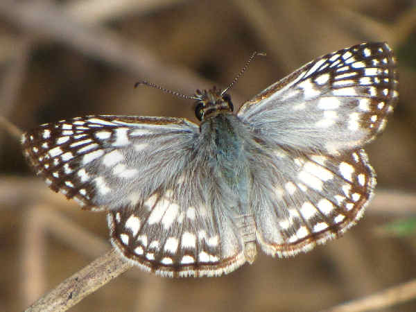 picture of a tropical checkered-skipper