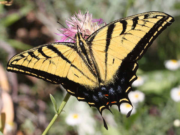 picture of a two-tailed Swallowtail, the official state butterfly of Arizona. butterfly