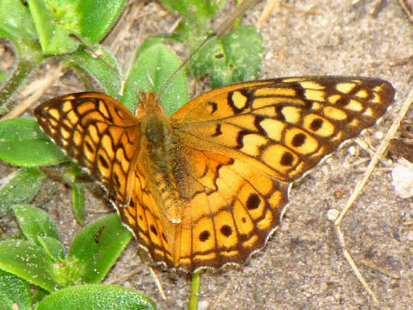picture of a side view of a Variegated Fritillary Butterfly