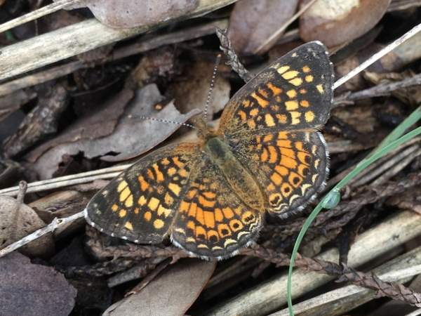 picture of a Vesta Crescent butterfly