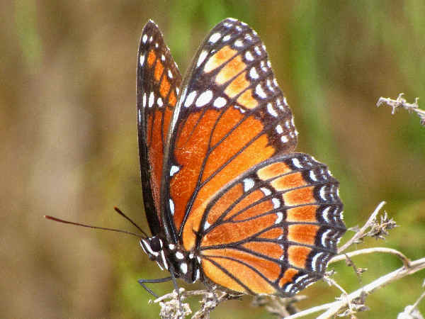 picture of a side view of a Viceroy butterfly