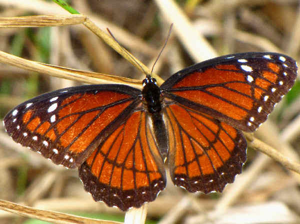 picture of a Viceroy butterfly