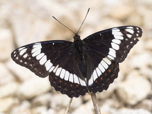 picture of a Weidemeyr's Admiral butterfly