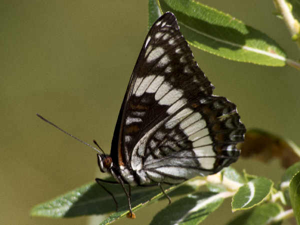 picture of a Weldemeyers Admiral butterfly