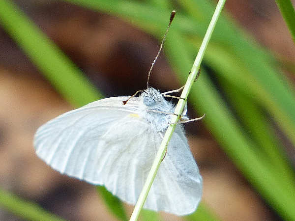 picture of a  West Virginia white butterfly