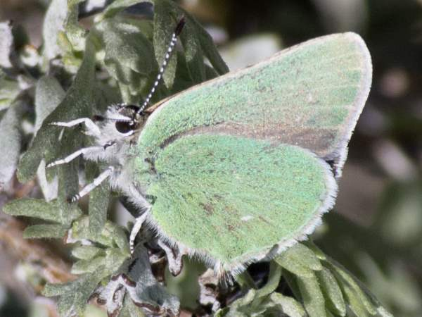 picture of a Western Green Hairstreak
