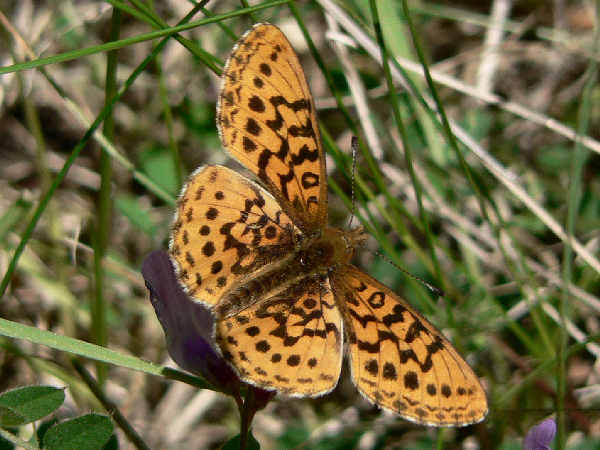 picture of a Western Meadow fritillary