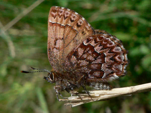 picture of a Western Pine Elfin butterfly