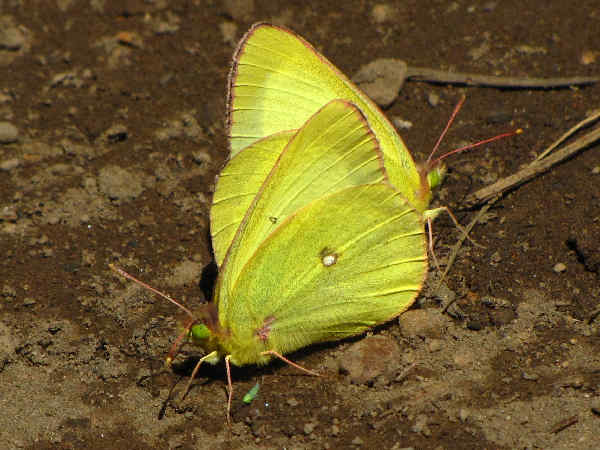 picture of a pair of Western Sulphur Butterflies