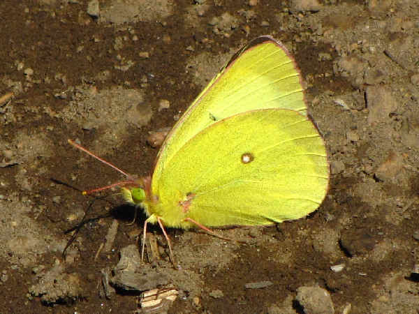 picture of a Western Sulphur butterfly, part of the Idaho butterflies series