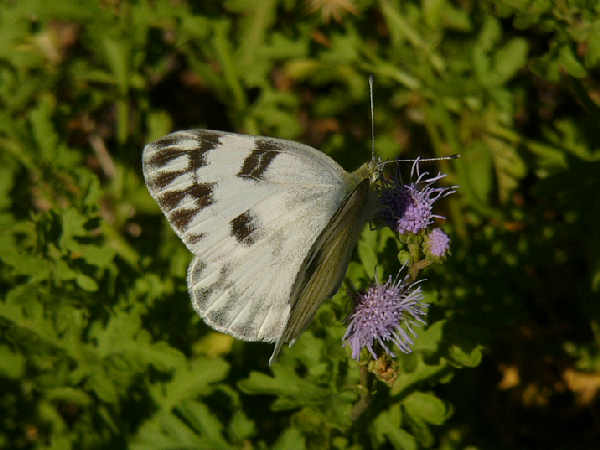 picture of a Western White butterfly