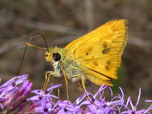 picture of a Whirlabout skipper