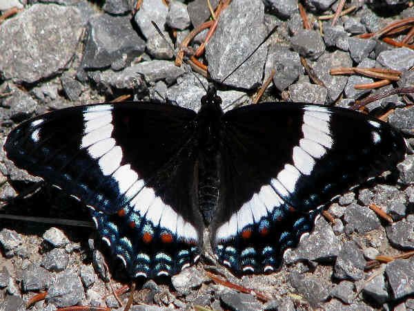 picture of a White Admiral butterfly, part of the Admiral butterflies series