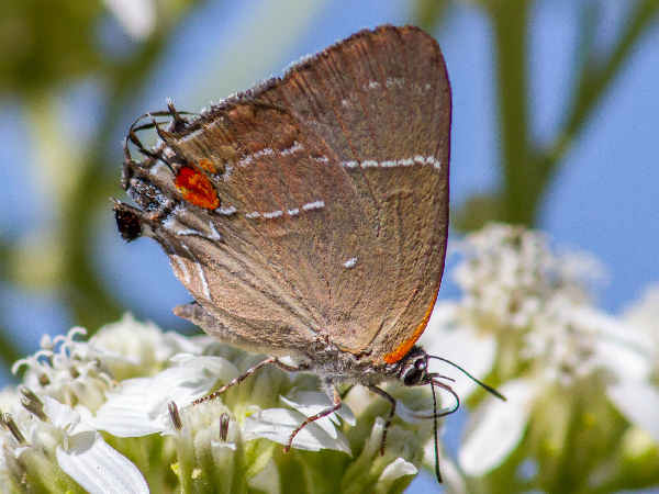 picture of a White M Hairstreak butterfly