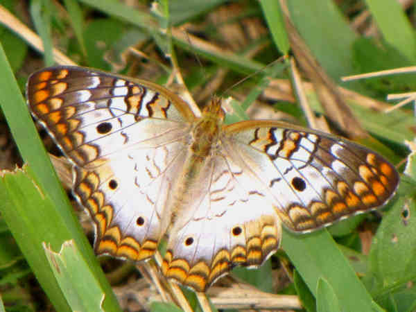 picture of a white peacock butterfly, part of the butterfly garden series