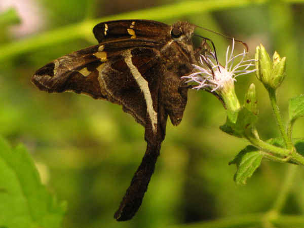picture of a white-striped Longtail butterfly