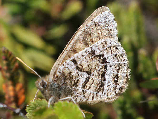 picture of a White-veined Arctic Butterfly
