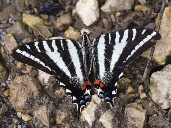 picture of a Zebra Swallowtail